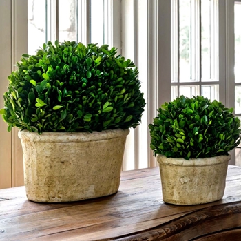 Boxwood Topiary Oval 2 Sizes 11x8, 16x12