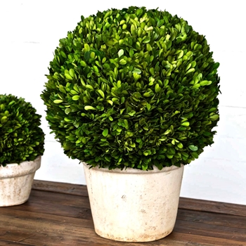 Boxwood Topiary Preserved Ball XL 16W/23H