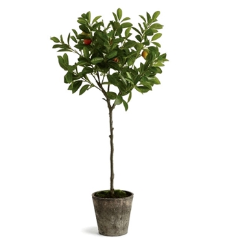 Citrus Topiary - Orange Fruiting 8W/41H