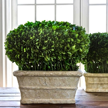 Boxwood Preserved Topiary Hedge 12W/12H