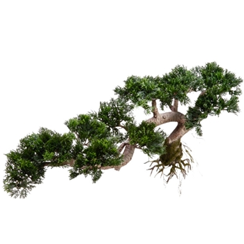 Bonsai Tree Juniper 18in Cascade Bare Root