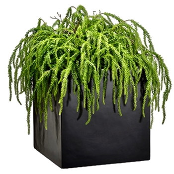 Juniper - Weeping Black Cube Planter 28W/28D/28H