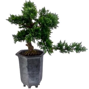 Bonsai Juniper in Tall Chinese Black pot 11W/16D/19H