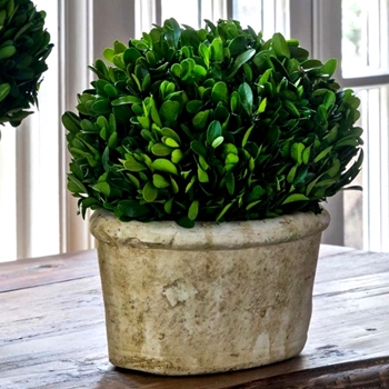 Boxwood Topiary Oval SMALL 11x8