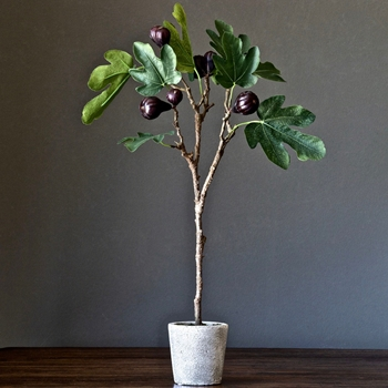 Fig Tree Topiary 19W/12D/25H