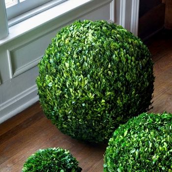 54. Boxwood Preserved Topiary Globe XXL 21 Inches