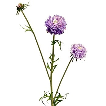 Scabiosa - Violet 27in - HSC079-LV